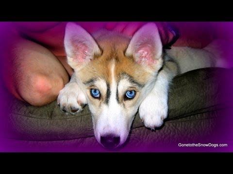 Siberian Husky PUPPIES!! Cute Puppies Shedding - Fan Friday #83