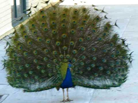 Peacock with Open Feathers at LA Zoo