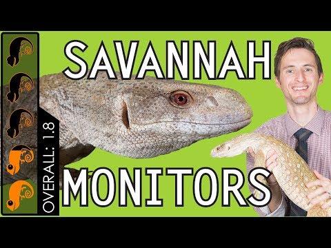 Savannah Monitor, The Best Pet Lizard?