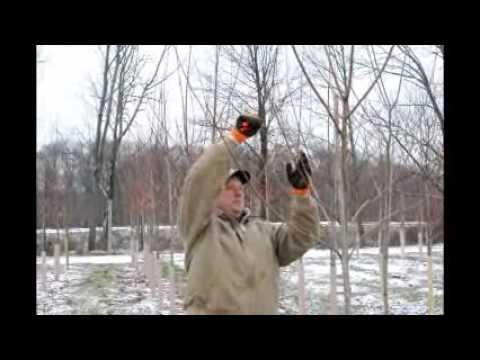 Pruning Your October Glory Maple Trees