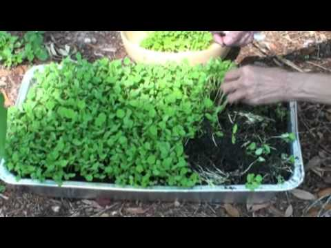 How to Grow Fenugreek Leaves (Kasoori Methi)  Video Instructions by Bhavna