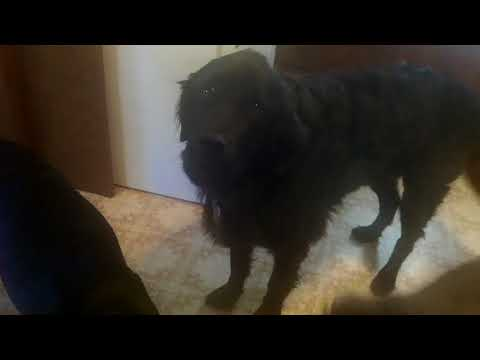 Dogs with Kennel Cough