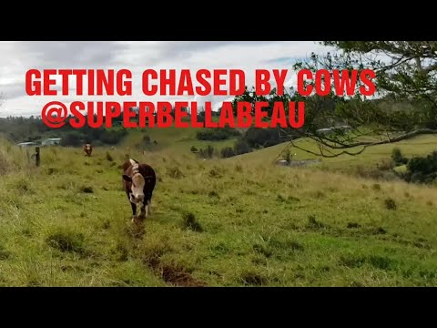 Getting chased by cows! 🐮💖