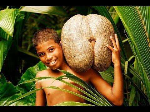 Coco de mer - The Forbidden Fruit - Around The World