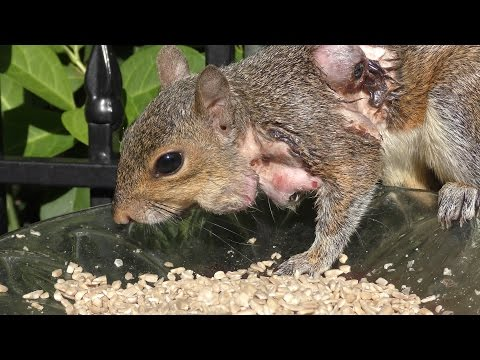 Squirrel Bot Fly Warble on Face UHD 4K FYV