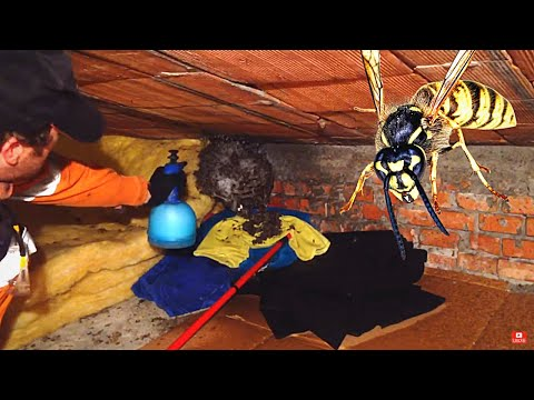 Destroying a HUGE wasp's nest [LIVE STREAM] Will I get stung? Watch to find out!!!
