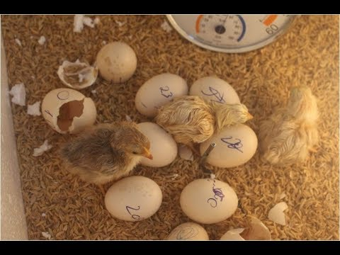 Automatic Egg Incubator, Egg Incubator Design, Incubating Duck Eggs, How To Incubate Duck Eggs