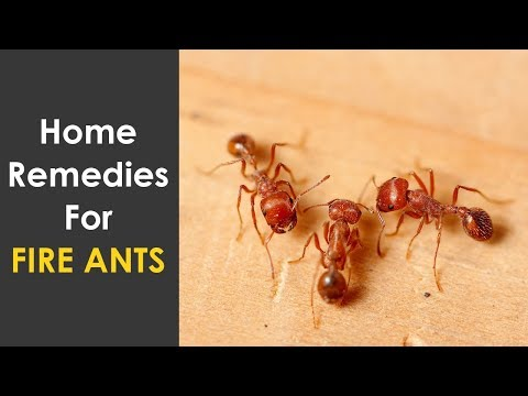 Home Remedies To Get Rid Of Fire Ants | How To Kill Fire Ants in House, Kitchen and Garden