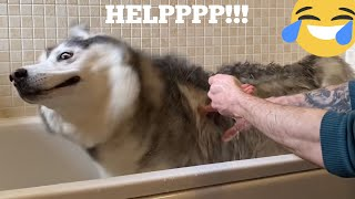 Hilarious Husky Does Everything She Can To Avoid Bath Time! [FUNNIEST VIDEO EVER!!]