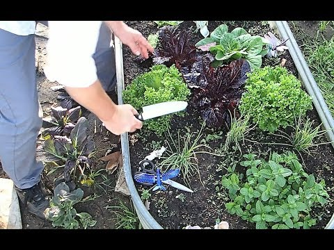Making a salad from the back yard at The Crouch Ranch. Growing lettuce, chard and mint!