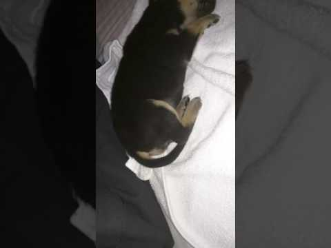 Why does my puppy Rottweiler shake so much while sleeping?