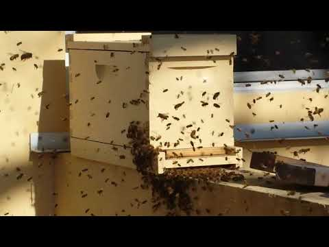 April 2nd 2018 Nice Swarm Catch Honey Bee Bait Hives