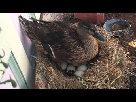 Mama Duck's Eggs Hatching on Chincoteague