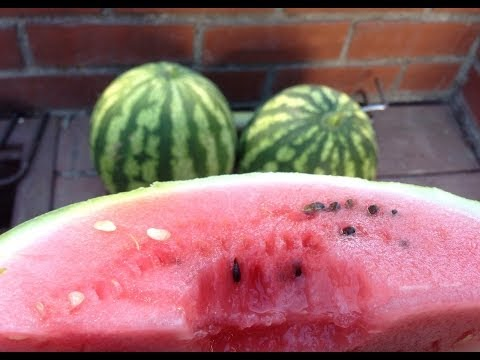 How to tell if a WATERMELON is ripe!