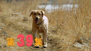 神犬小七 39   Hero Dog: Xiaoqi  39