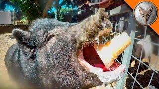 BEWARE of BIG PIG!