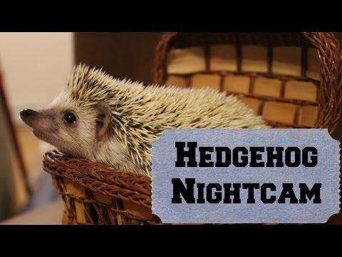 Hedgehog night cam- Angel the hedgehog