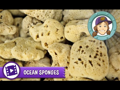 Animal Jam - Ask Tierney: Are kitchen sponges made from ocean sponges?