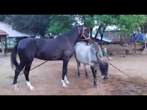 Xxx Mp4 Lovely Horse And Kangayam Cow Love 3gp Sex