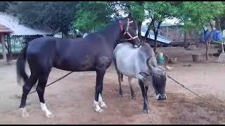 Lovely Horse and Kangayam cow Love | Wonderful Moments