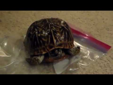 A Tribute to  Ortego. A Godly Turtle. Doesn't SMELL or Decompose.& Extinct Turtle. Amanda.