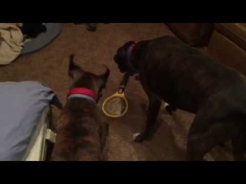 Boxers barking at electric fly swatter