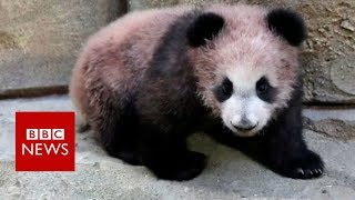 Baby Panda Yuan Meng makes debut in France- BBC News