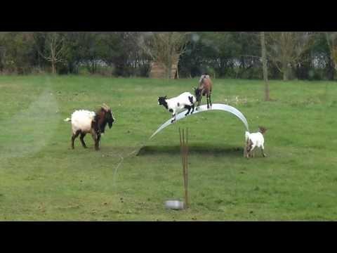 Salınan Keçiler, Sallanan Keçiler