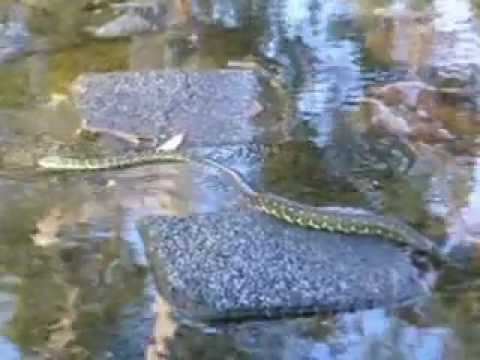 Snakes in My Natural Swimming Pool