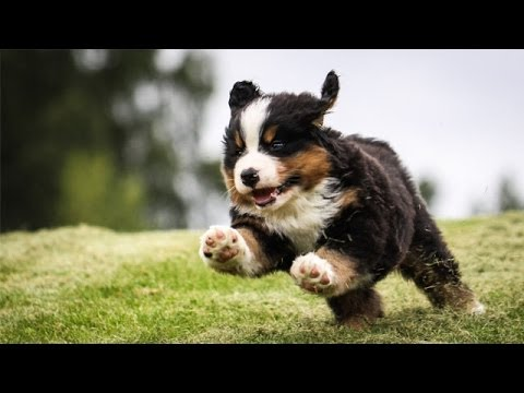 60 Seconds Of Cute Bernese Mountain Dog Puppies!