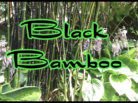 Bamboo update: Trimming Black Bamboo and Garden tour with Giant Hosta