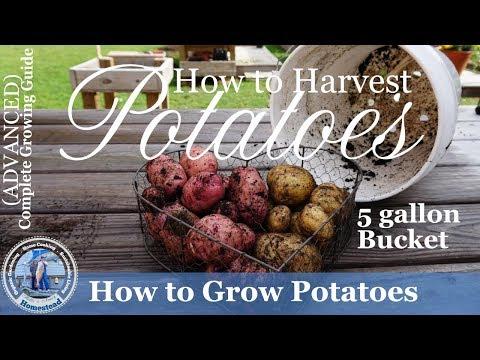 5 Gallon Bucket Grown Potato Harvest for 2017