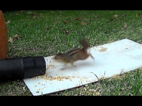 Leaf Blower vs Chipmunks and a Squirrel