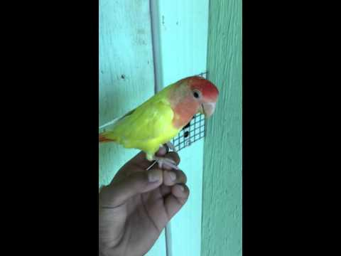 How to get your bird to stand on your finger