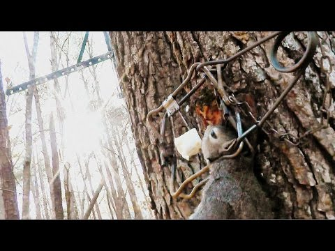 How to set a Tree Set trap for Squirrel - Conibear 110