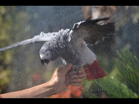 African Grey Loves to Shower