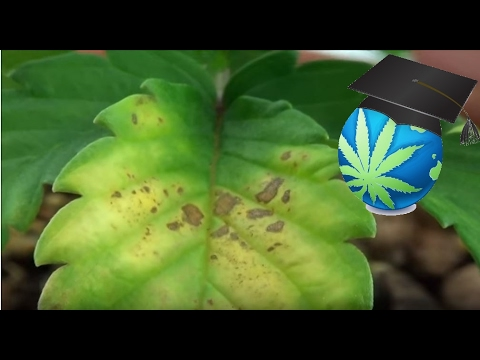 Learn To Identify Magnesium Deficiency In Cannabis