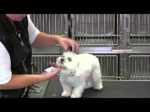 Maltese Short Puppy Trim Face-Eyes