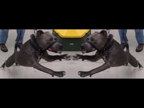 Leash Fighting Pit Bulls Stop Bad Behavior Quick SafeCalm Dog Whisperer BIG CHUCK MCBRIDE
