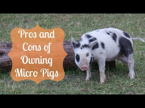 Pros and Cons of Owning Micro Pigs