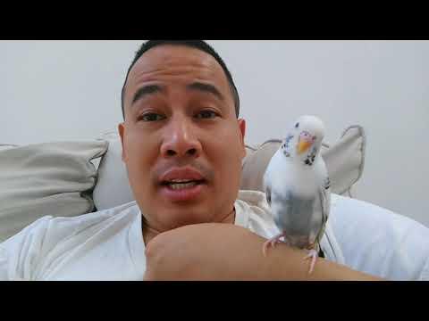 How to Prolong Parakeet/Budgie Life Span & Make Them Happier/Healthier Pet Bird
