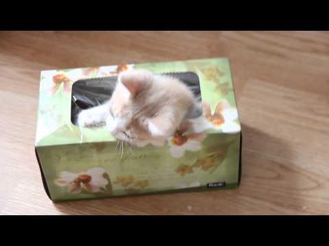 Kitten in a Tissue Box