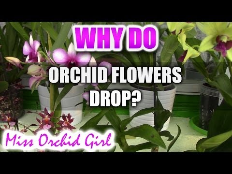 Why do Orchid flowers drop prematurely?