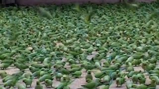The Man Feed the  Food in Wild  Parrots