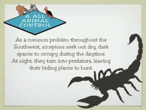 Scorpion Removal, Phoenix, Tempe, Mesa, AZ