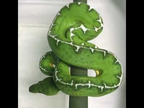 One of our raise up Amazon Basin Emerald Tree Boas