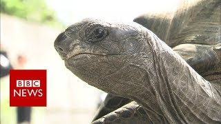 Missing Japanese tortoise found- BBC News