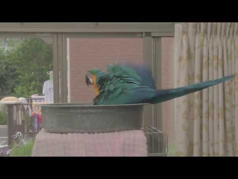 macaw's bath time
