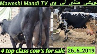 Sahiwal Local Desi Cross Cow Price In Doli Shaeed Moweshi