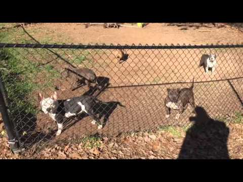 How to exercise your American bully Pitbull